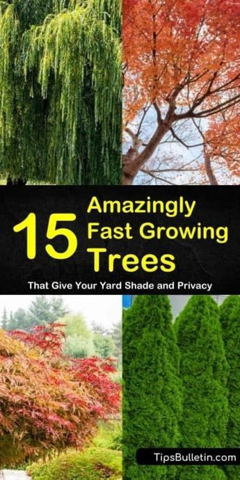 15 Amazingly Fast Growing Trees That Give Your Yard Shade And Privacy Fast Growing Shade Trees Growing Tree Fast Growing Pine Trees