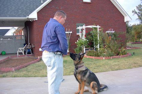 Teaching Focus German Shepherd Dog Forums Shepherd Dog German