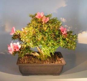 Flowering Trees Azalea Bougainvillea Brush Cherry Flowering Pink Serissa New Zealand Tea Rose And More Flowering Bonsai Tree Bonsai Tree Plants