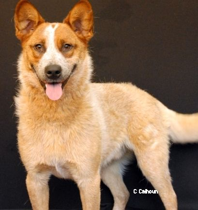 Adopt Sydney On Australian Cattle Dog Humane Society Pet Search