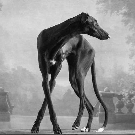 Presents Long legs, dancing like a star PHOTO Love My Dog, Greyhound Art, Italian Greyhound, Pet Dogs, Dog Cat, Dog Anatomy, Grey Hound Dog, Pet Portraits, Animal Photography