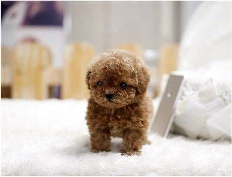 Cheap Teacup Poodle Puppies Sale Teacup Puppies For Sale Teacup Dogs For Sale Small Dogs For Sale