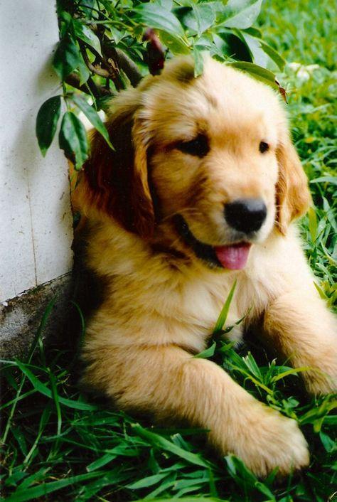 Riley Puppy Furry Friends 3 Dogs Golden Retriever Pet Dogs