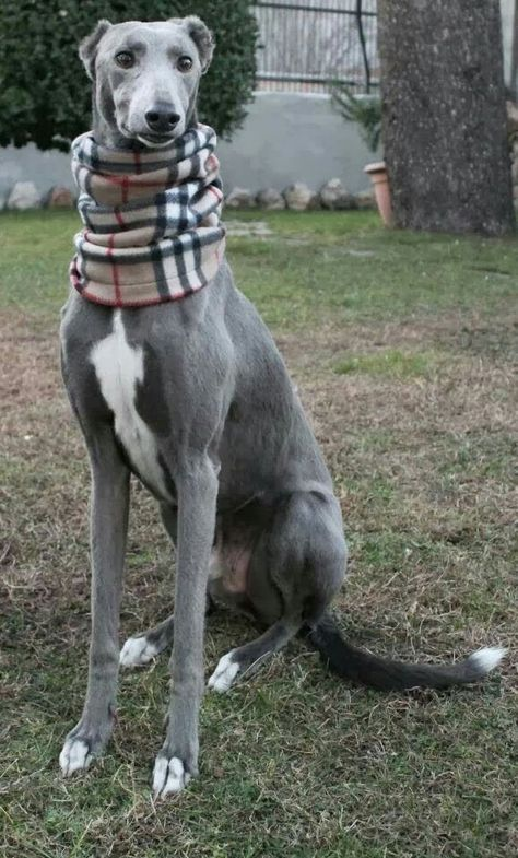 There'll probably be tons of gray hounds for adoption in Kansas because of the races. :(