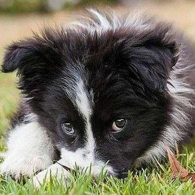 Pin By Air On Border Collies Sheep Dog Puppy Border Collie