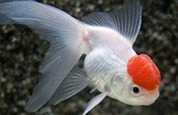 Red Cap Oranda Goldfish Carassius Auratus Oranda Goldfish Goldfish Red