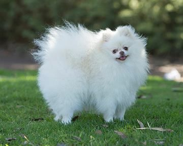 Pomeranian Lifespan And How To Ensure Your Pomeranian Lives To His Full Potential I Love Dogs Dog Love Dogs