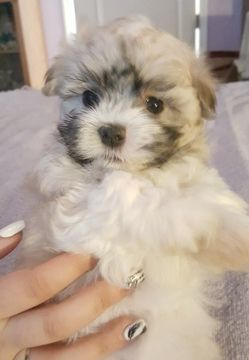 Litter Of 5 Cotonese Puppies For Sale In Orlando Fl Adn 60575 On