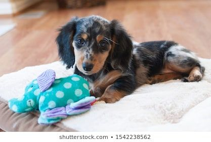 Longhaired Miniature Dachshund Images Stock Photos Miniature Dachshund Toy Austr In 2020 Dachshund Puppy Miniature Miniature Dachshund Long Haired Miniature Dachshund