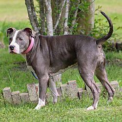Crenshaw Ms American Staffordshire Terrier Meet Little A Dog