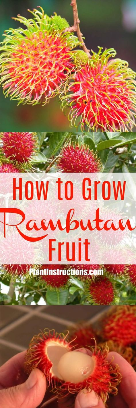 Learn how to plant, grow, and care for rambutan trees. via @plantinstructio