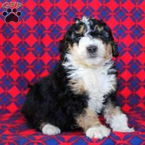 Mini Bernedoodle Puppies For Sale Greenfield Puppies In 2020 Bernedoodle Bernedoodle Puppy Mini Bernedoodle