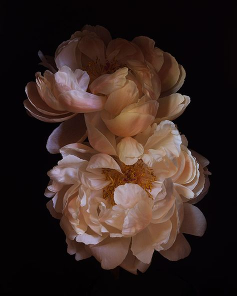 Rembrandt Still Lifes ron van dongen photography I love how the flowers give a pastel vibe but it contrast with the black background # Dahlia, Peony Flower, My Flower, Flower Power, Bouquet Flowers, Art Floral, Flowers Black Background, Flower Aesthetic, Rembrandt