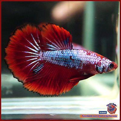 Live Betta Fish Female Big Fins Turquoise Super Red Halfmoon Hm 2633 Seller Momo Miniatures Betta Fish Betta Fish