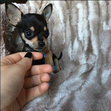 Chihuahua Puppy For Sale In Houston Tx Adn 31269 On Puppyfinder