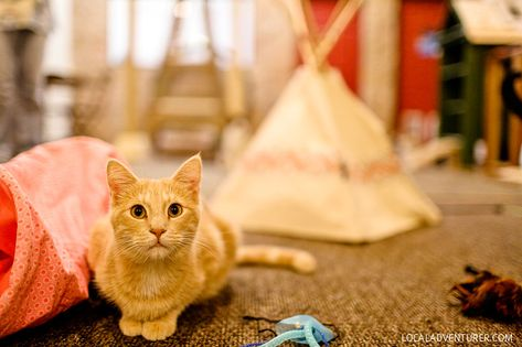 Adopt Cats From The San Diego Humane Society At The Cat Cafe San Diego Cat Cafe Cat Coffee Cats