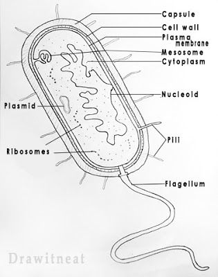 Draw It Neat How To Draw Bacteria Biology Diagrams Biology Drawing Cell Diagram