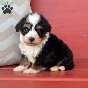 Mini Bernedoodle Puppies For Sale Bernedoodle Puppy Mini Bernedoodle Puppies