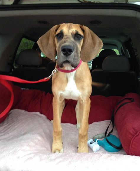Adopt Stella On Great Dane Dogs Puppy Adoption Great Dane Rescue