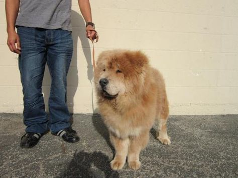 Harry Chow Chow Dog Los Angeles Ca Chow Chow Dogs