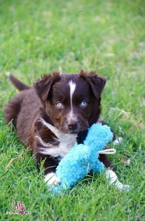 Blue Eyes Red Bi Australian Shepherd Blue Eyes Bi Aussie Beb