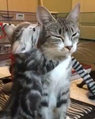 Kitten loves her mom ♥️  #kitten #Loves #Mom   Kitten loves her mom ♥️   Cute cat mom with her babies. Please follow Animals Board for more videos