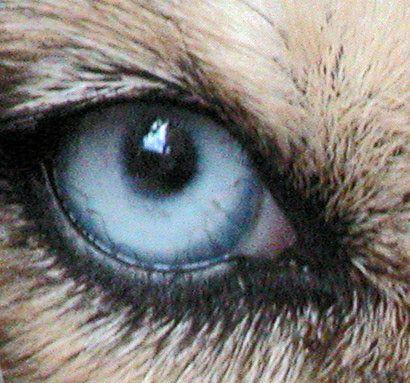 yeux d`animaux | Le dressage d'obéissance d'un chien