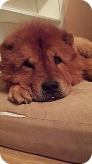 Ocean Springs Ms Chow Chow Meet Pharoah A Dog For Adoption