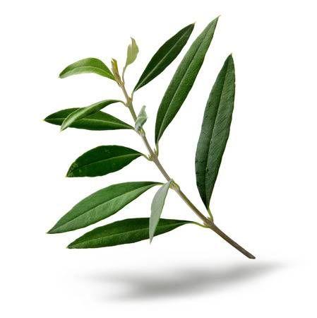Fresh Olive Tree Branch Green Leaves Isolated On White Background Tree Illustration Olive Tree Tattoos Oak Tree Tattoo