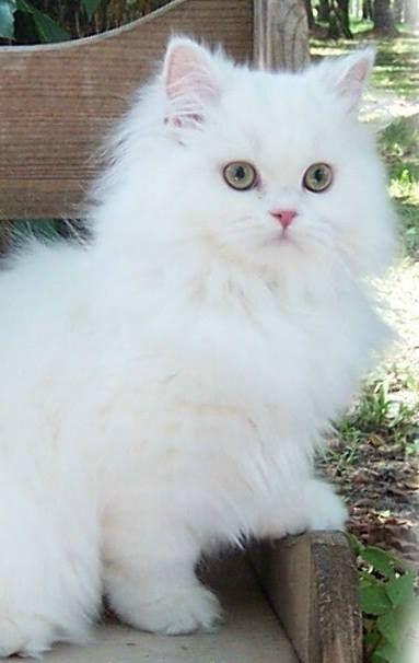 Persian Cat White In 2020 Persian Cat White Persian Cat White Cats