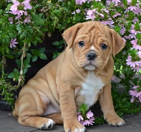 baby boxer puppies for adoption  baby  free engine image for user manual download Regalos Originales Regalos Originales Para Hombres