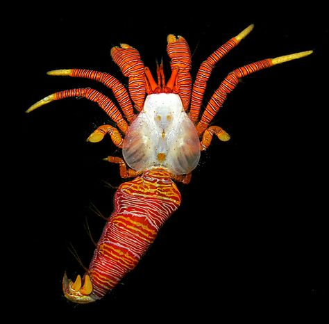 A halloween hermit crab (Ciliopagurus tricolor) extracted from its cone shell, Mayotte, Indian Ocean by Arthur Anker, via Flickr