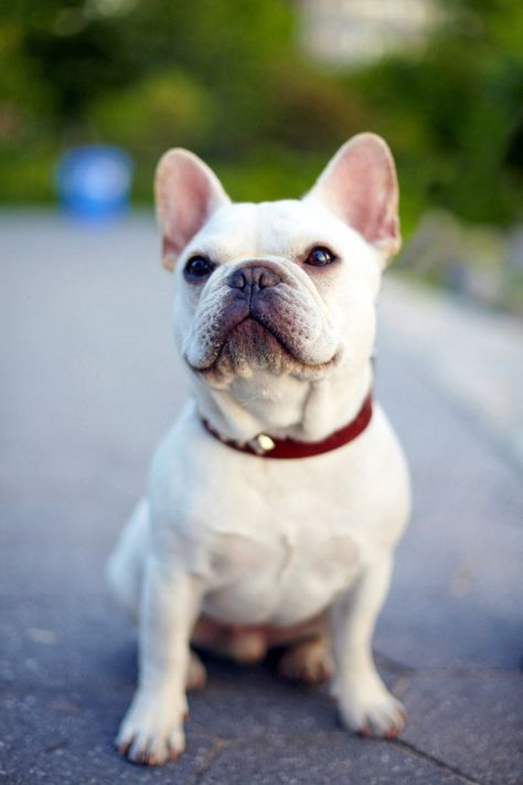 French #Bulldogs literally one of the cutest dogs ever! #DrRandyPetVet [more at pinterest.com/eventsbygab]