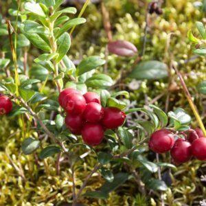 Preiselbeeren Pflanzen Sorten Verwendung Plantura Pflanzen Gartenarten Garten Pflanzen