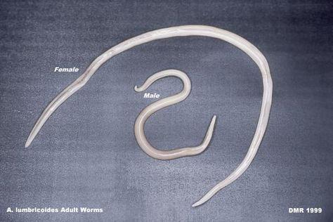 pinworm pina