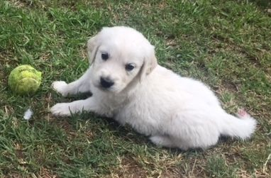 Litter Of 4 Golden Retriever Puppies For Sale In Gilbert Az Adn