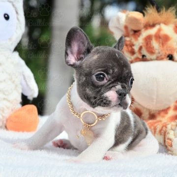 French Bulldog Puppy For Sale In Fort Lauderdale Fl Adn 65515 On