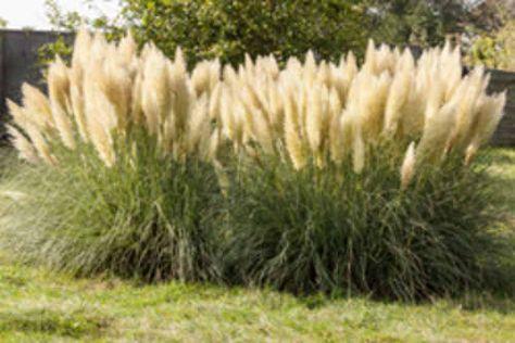 pampasgras pflanzen