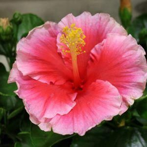 Hibiscus Flower Benefits For Hair And Skin Hibiscus Hardy Hibiscus Plants Hibiscus