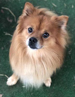 Dallas Tx Pomeranian Meet Whiskey Dfw A Pet For Adoption Pets Pet Adoption Pomeranian