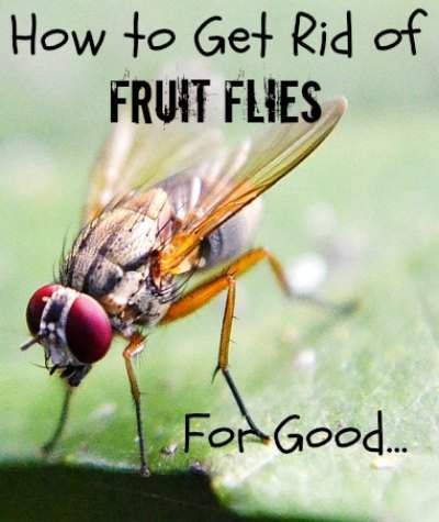 Get Rid Of Fruit Flies For Good Pint Size Farm Fruit Flies Homemade Fruit Fly Trap How To Attract Hummingbirds