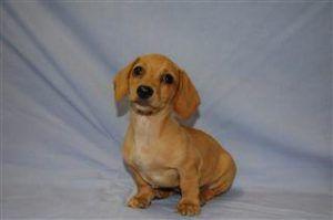 Short Hair Miniature Dachshund Puppies For Sale Dachshund Puppy