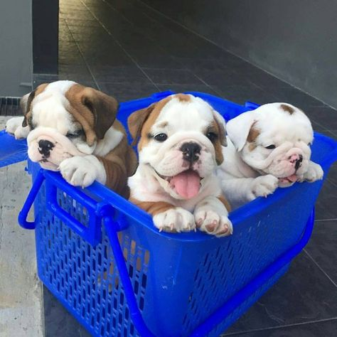 The major breeds of bulldogs are English bulldog, American bulldog, and French bulldog. The bulldog has a broad shoulder which matches with the head. Cute Bulldog Puppies, Baby Bulldogs, Cute Bulldogs, English Bulldog Puppies, Cute Dogs And Puppies, Terrier Puppies, Doggies, French Bulldogs, Pet Dogs
