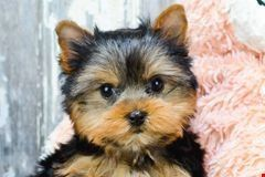 Teddy Bear Puppies For Sale Yorkie Puppy Yorkie Puppy For Sale Yorkshire Terrier Puppies