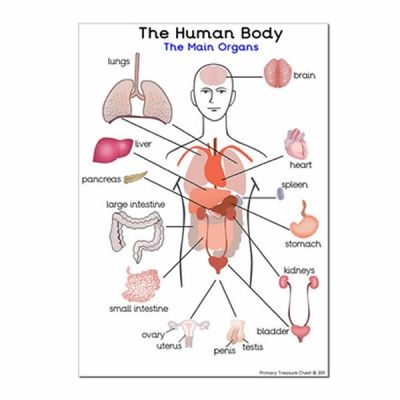 New The Human Body and it/'s Organs Human Biology Poster