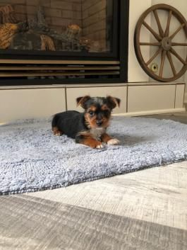 Yorkie Puppies For Sale Lancaster Puppies In 2020 Puppies For Sale Lancaster Puppies Yorkshire Terrier