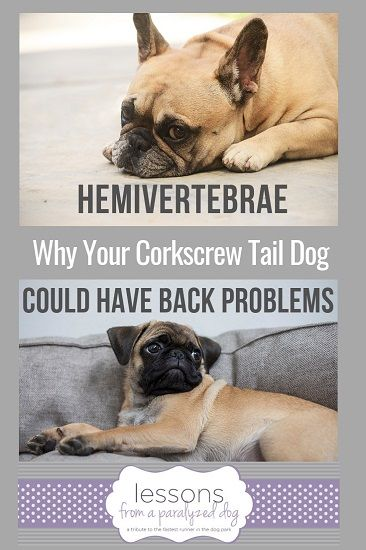 Hemivertebrae The Spine Deformity In Flat Face Dogs Dogs Flat