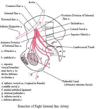 Right Internal Iliac Artery Diagram Www Anatomynote Com Arteries Rectal Anatomy