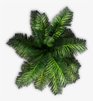 Christmas Tree Top View.Pin By Hansonwang On Plants Trees Top View Palm Tree