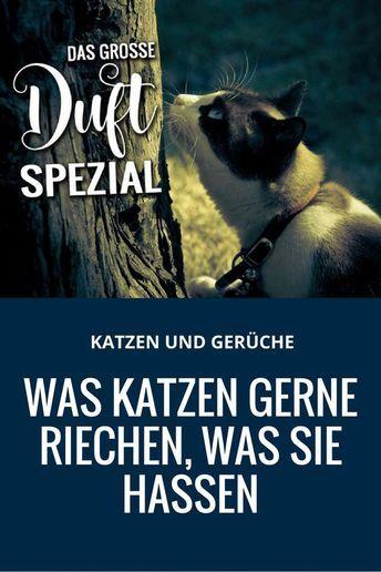 Bkh Geschwister Isabella Und Justus In Nordrhein Westfalen Waldbrol Britisch Kurzhaar Katzenbabys Kaufen Katzenbabys Katzenbabys Kaufen Britisch Kurzhaar